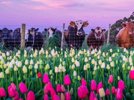 Waratah Wynyard Council - Cows And Tulips - Leanne Marshall