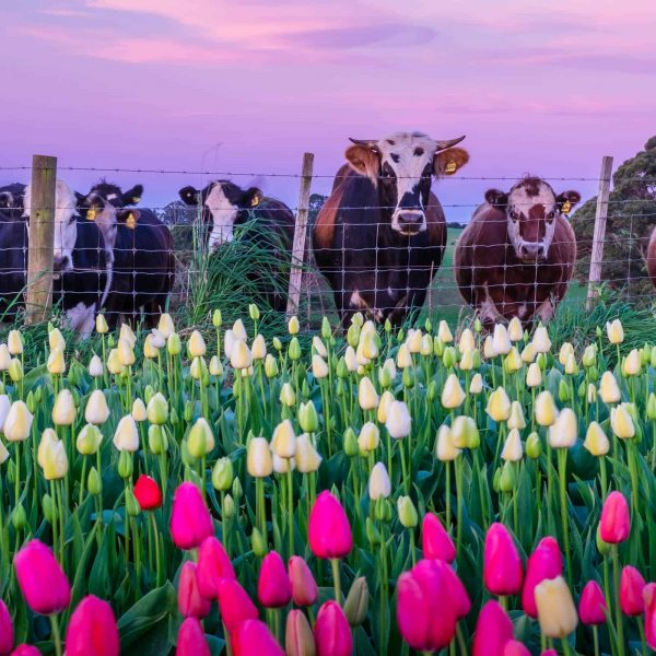Waratah Wynyard Council - Cows And Tulips - Leanne Marshall