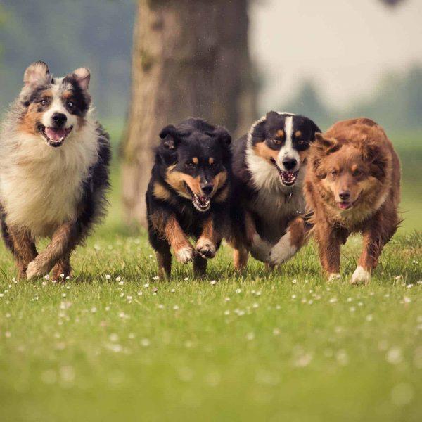 Dogs Waratah Wynyard Council Web