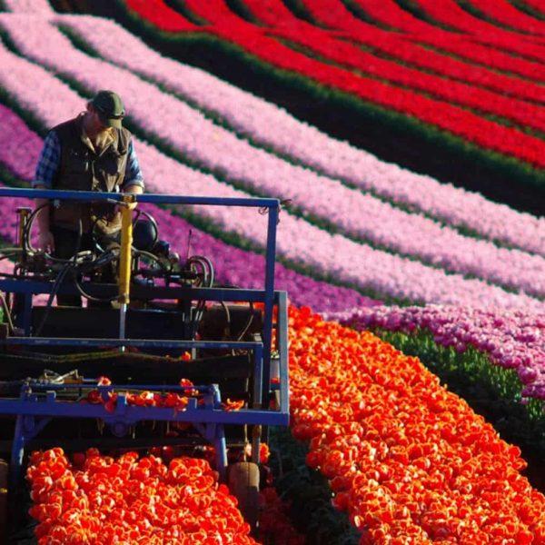 Waratah Wynyard Council - Harvest Tulips