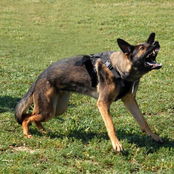 portrait of an aggressive  purebred german shepherd outdoors