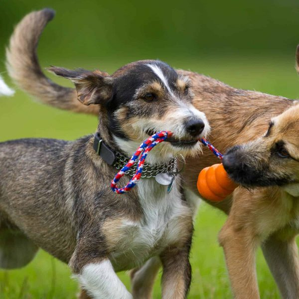 Two dogs playing together with a toy in a green meadow.