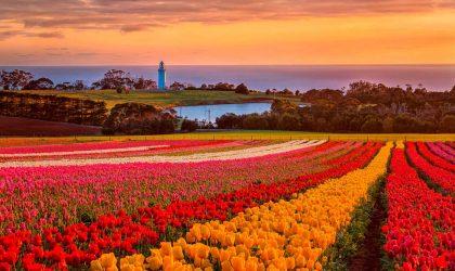 Waratah Wynyard Council - Table Cape Tulips
